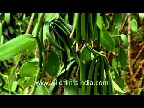 Vanilla pods in Kerala spice plantation