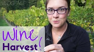 Harvesting Wine Grapes on Whidbey Island | Travel Vlog #74