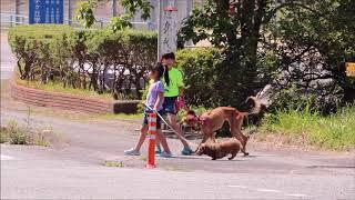 サルーキーとダックスの散歩今日入舎した大きい方の犬サルーキーです。 ...