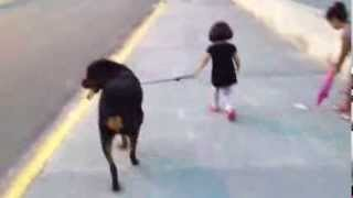 Niña De Tres Años Paseando Su Rottweiler. Three Years Old Girl Walking With Her Rottweiler.
