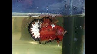 Cá Betta- Những Con Cá đẹp Mình Từng Biết! Còn Bạn?