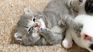 爪が口に引っかかってあせる赤ちゃん猫