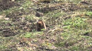 Simien Wolves and Giant Mole-rats in Ethiopia