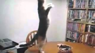 Кот танцует стоя на задних лапах