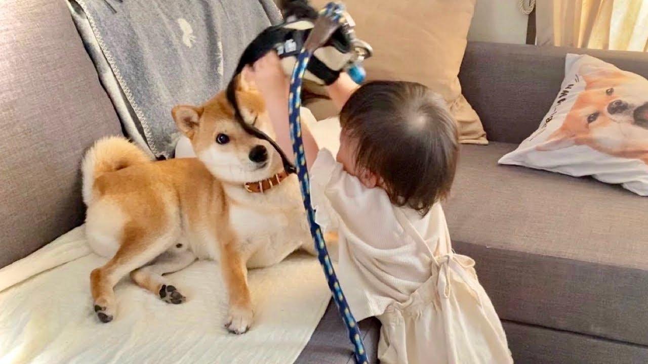 なにがなんでも柴犬兄さんと散歩に行きたがる1歳娘
