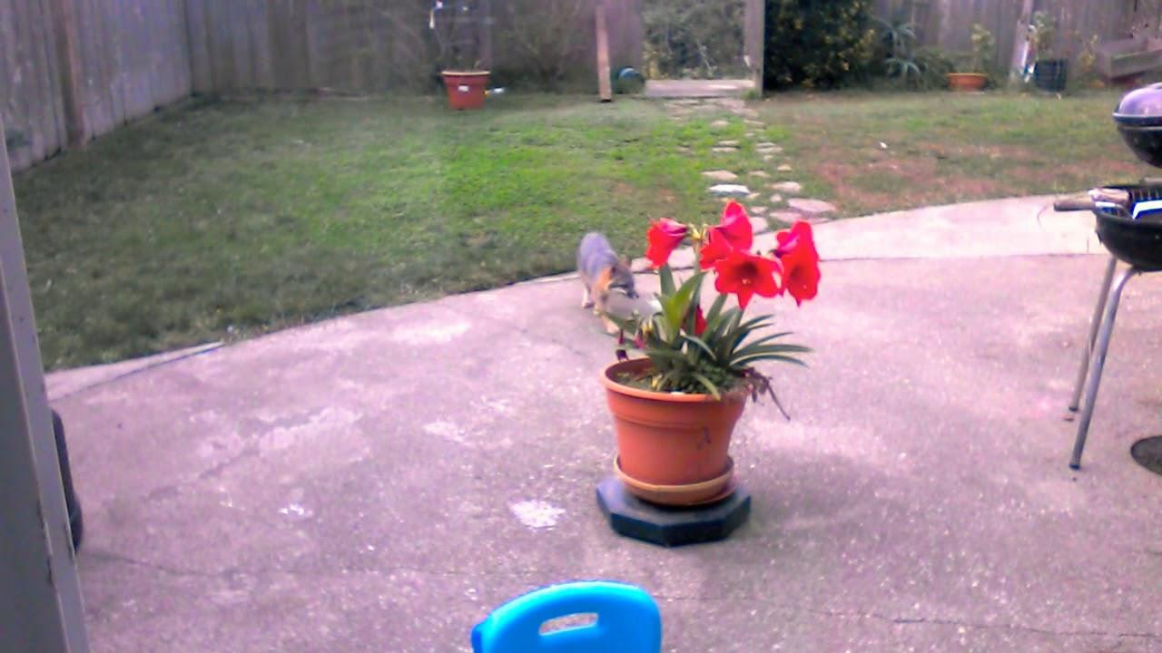 Fox in my backyard!!!!!!!!!!!!!!!!!!!!😮😱 - YouTube