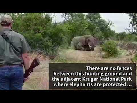 Young Elephant Shot Repeatedly in the Head Endures Agonising Death for a 'Trophy'