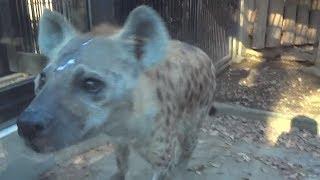 埼玉県の大宮公園小動物園のブチハイエナのガリガリタイムの様子です。 ...
