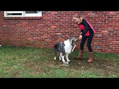 Teach your dog Orbit advanced tricks for dogs