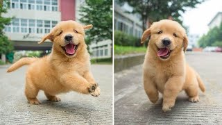 Funniest & Cutest Golden Retriever Puppies - 30 Minutes of Funny Puppy Videos 2021 #5