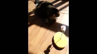 коту Лёньке 16 лет, кот играет, кошки-мышки