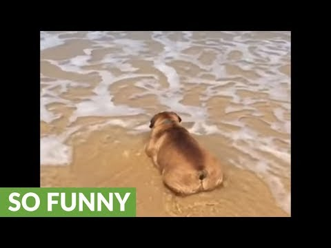 Bulldog chills at the beach just like humans do!