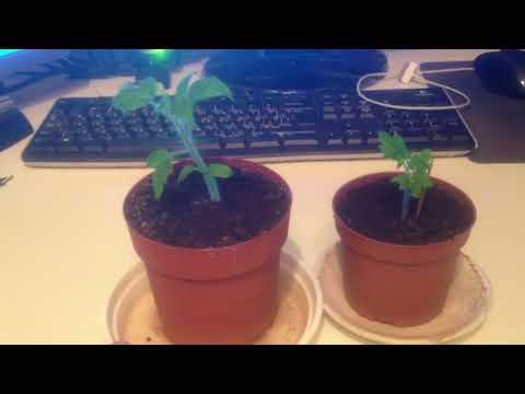Выращиваем Помидоры на Балконе!