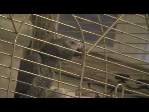 African grey parrot talking whistling singing