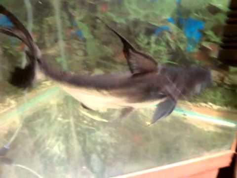 Самая БОЛЬШАЯ аквариумная Акула