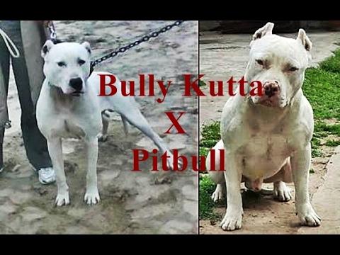 Bully Kutta X Pitbull - Working lines mix