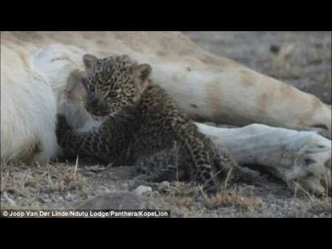 The Rare Moment A Lioness Feeds A Leopard Cub