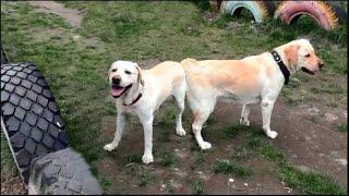Палевые лабрадоры Майк и Пери. Бурное знакомство. Pale yellow Labradors Mike and Peri.