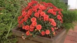 Garden Mums: Rearrange Summer Flower Pots for Fall