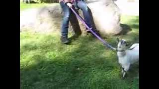 Leash Training My Baby Goat Hilarious Fail!