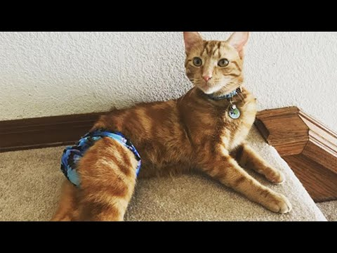 Meet Pebble, The Feisty Tailless Cat With Manx Syndrome Who Is His Mom's Emotional Support Animal