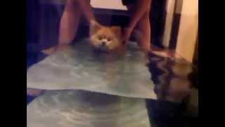 Pomeranian - Aquatic Therapy For Dogs