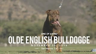 ONE OF A KIND OLD ENGLISH BULLDOGS