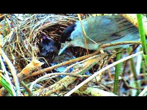 RELAX | 1 Hours on The Bird Nest | BLACKCAP |