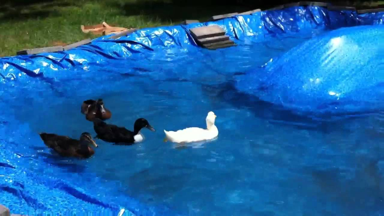 Backyard Duck Ponds the new duck pond - youtube