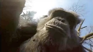 Chimps destroy documentary drone with twig tools