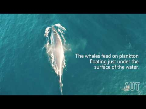 Rare drone footage of this feeding whale is the most peaceful thing you'll see all day