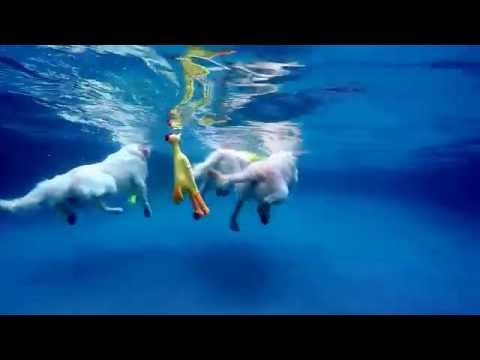 3 English Cream Golden Retrievers jump & dive underwater into swimming pool for dog toys
