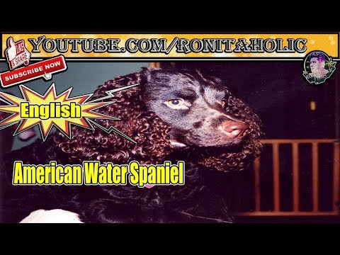 Everything about American Water Spaniel in English