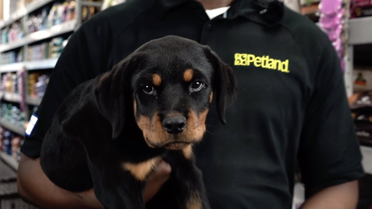 Here's how the Rottweiler stole our Pet counselor's heart!   Petland Florida