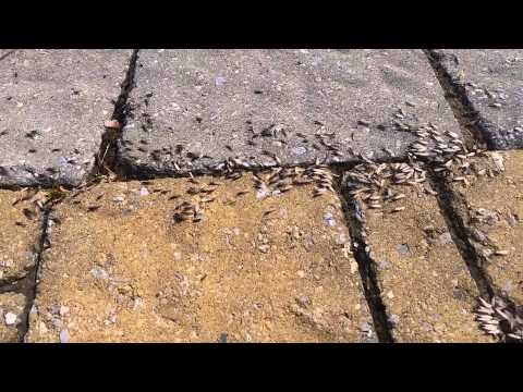 termite-swarmers-emerging-from-a-patio-2015