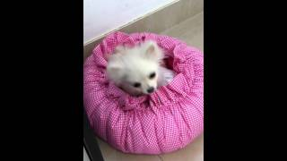 Pomeranian Puppy Filippa Coughing 1