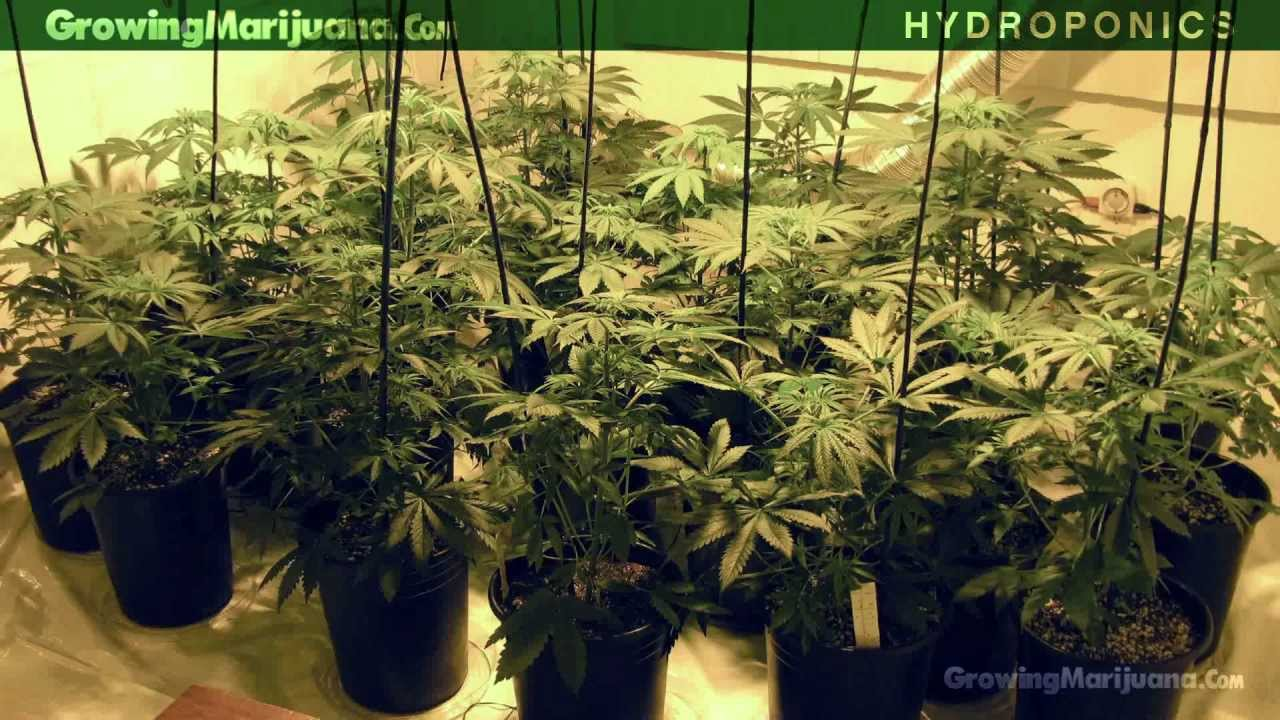 Hydroponics Hydroponic Marijuana Growing Hydro Weed