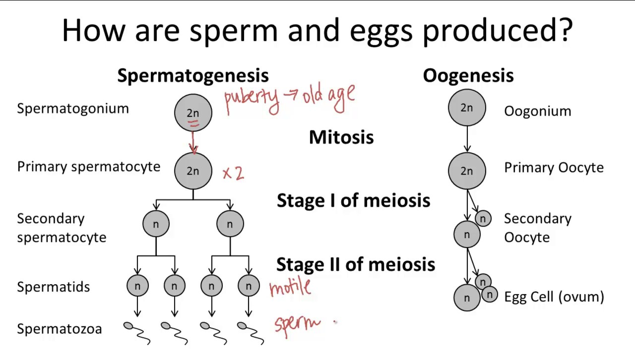 Drag The Diagram Of Stages Meiosis Trailer Wire 7 Pin Oogenesis V. Spermatogenesis - Youtube