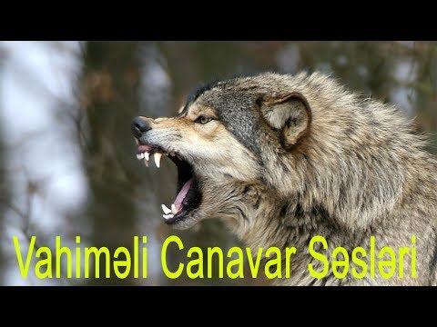 Dünyanın ən Qorxulu 10 Canavar Ulaması ( Kurt sesi ) ( Wolf howl )