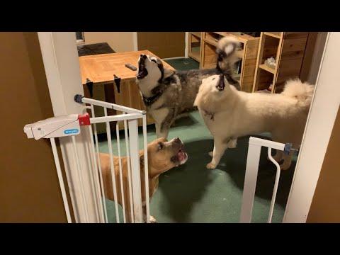 SnowDogs Teach Pitbull To Howl | Tonka The Malamute & Monroe The Husky