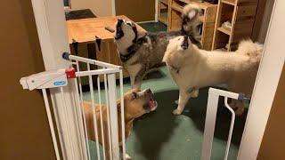 Snow Dogs Teach Pitbull To Howl