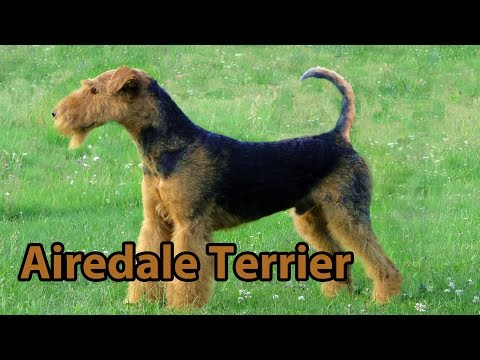 The Right Companion: Airedale Terrier