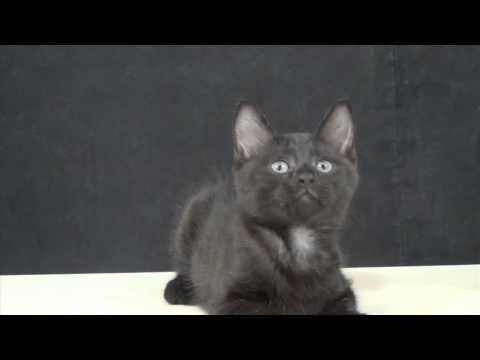 cat enjoying music rhythms, and dance