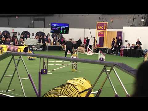 Wheaten Terrier a crowd favorite in agility at Westminster Dog Show
