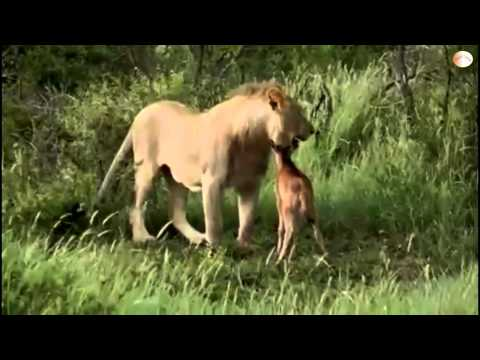[HD] Sư tử bảo vệ Nai con trước nanh vuốt đồng loại