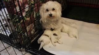 Coton de Tulear Puppies For Sale - Eliza 10/14/20