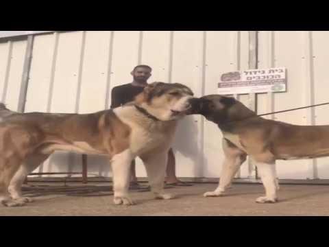 ALaBai Vs KaNGaL - Big Meets Bigger *Dogs Of War*
