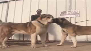 ALaBai vs KaNGaL - Big Meets Bigger *Dogs of War*