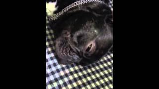 french bulldog (horlayan köpek)