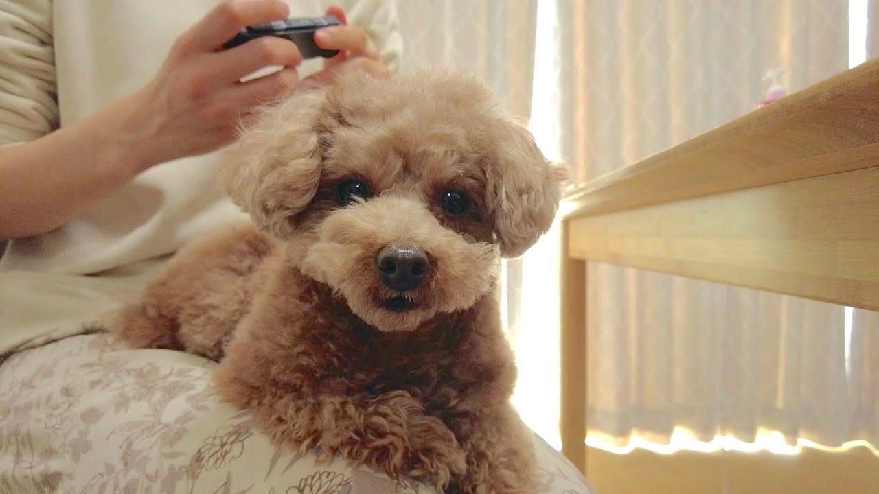 【※最後にお知らせ】ニンテンドースイッチを夢中でしてたら犬が寂しそうにしてしまいました...【トイプードル】